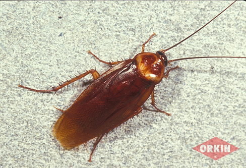 American Cockroach Identification  Control Get Rid of American