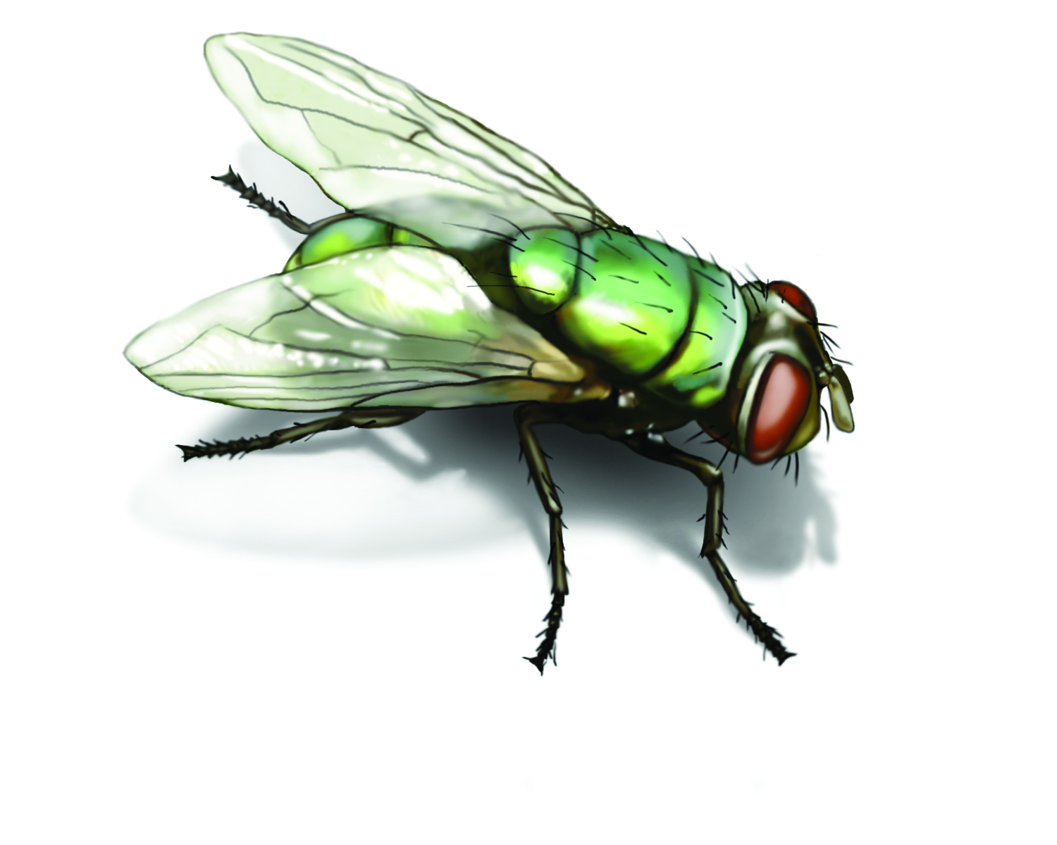 Tiny Green Bugs That Bite Green Bottle Fly: Get Rid Of Green Bottle Flies In House