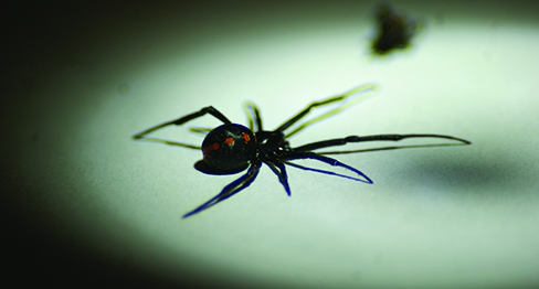 Black Widow Spiders - How to Get Rid of Black Widows