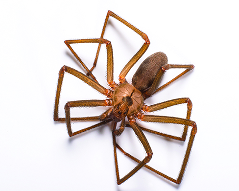 Brown Recluse Spiders Facts, Identification  Control
