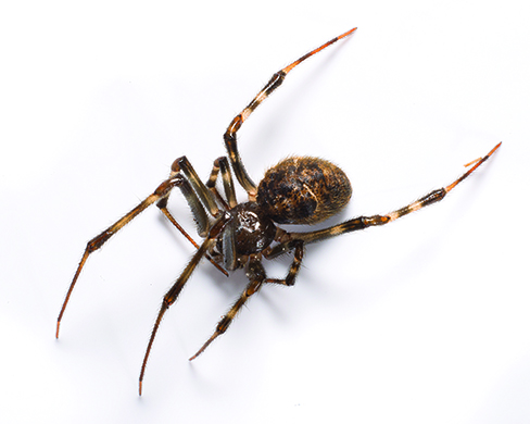 Common House Spider Identification  Removal