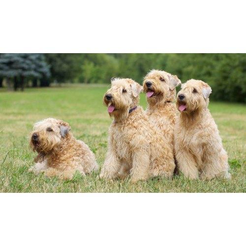 Medium Crop Of Wheaten Terrier Mix