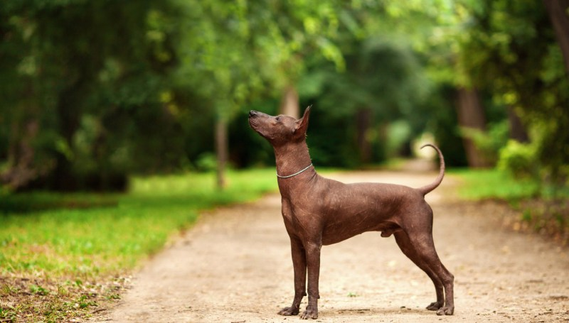 Extraordinary Xoloitzcuintli Hairless Xoloitzcuintli Xoloitzcuintli All About Dogs Mexican Hairless Dog Breeds Ancient Mexican Dog Breeds