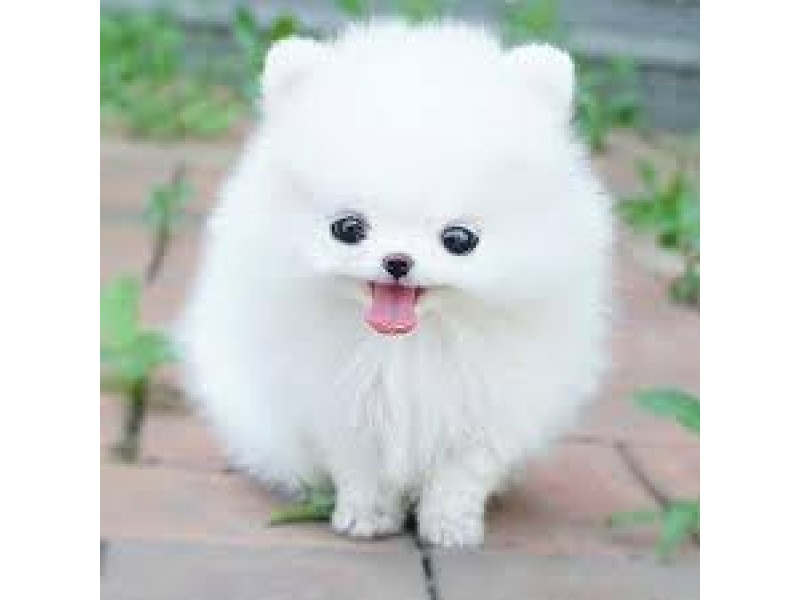 Cute Marshmallow Wallpaper Hd Things You Need To Know Before Buying A Pomeranian Husky