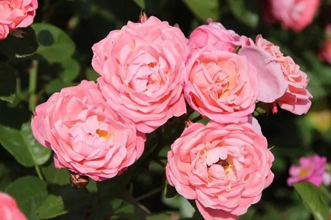 Rose Mein schöner Garten ® - Rosa Mein schöner Garten ® günstig - schoner garten bilder