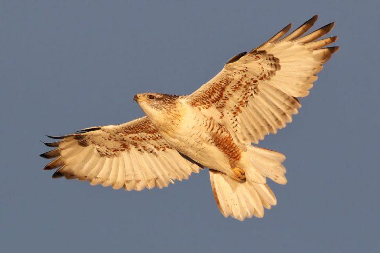 Ferruginous Hawk (3)