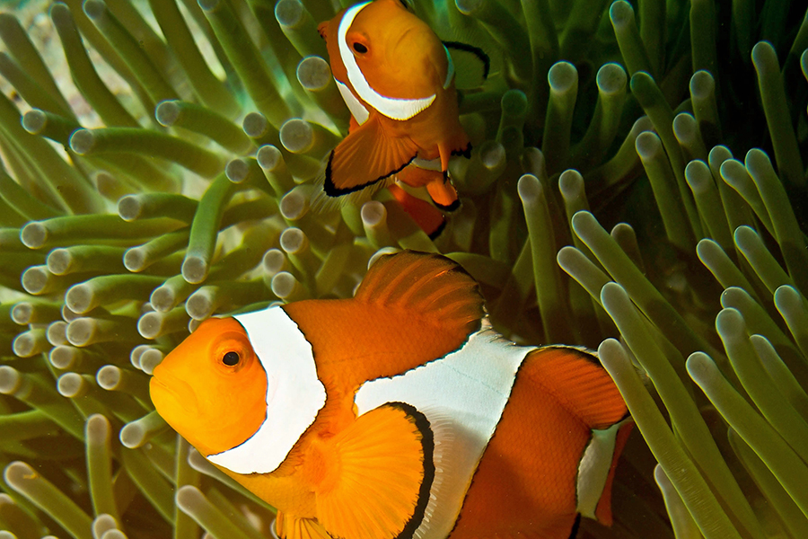 Black And White Dot Wallpaper Clownfish Share Their Sea Anemone Homes When Space Is Limited