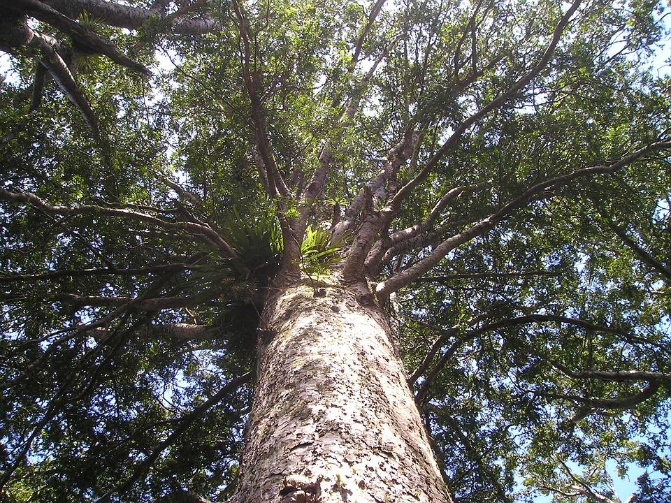 Spring Animal Wallpaper Kauri Tree Giant Huge 183 Free Photo On Pixabay