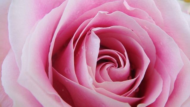 Pink Fall Wallpaper Hd Pink Rose Flower Close 183 Free Photo On Pixabay