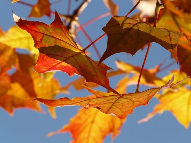 Fall Sunflower Desktop Wallpaper Free Photo Autumn Leaf Leaves Maple Free Image On
