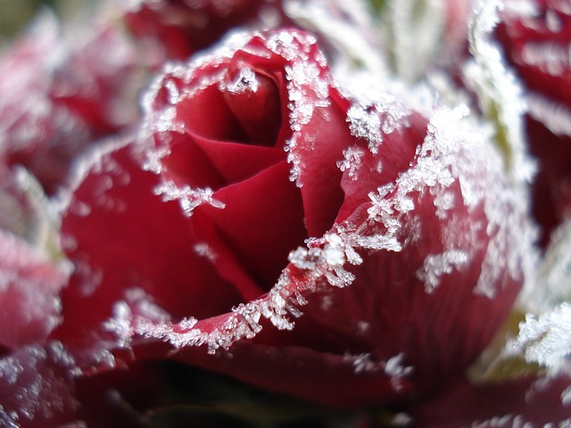 Fall Pc Wallpaper Free Free Photo Rose Ice Frozen Roses Free Image On