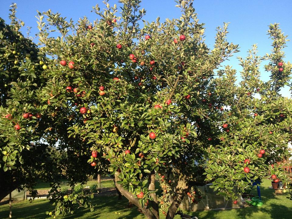 24 Wallpaper Iphone Free Photo Apple Apple Tree Red Garden Free Image On