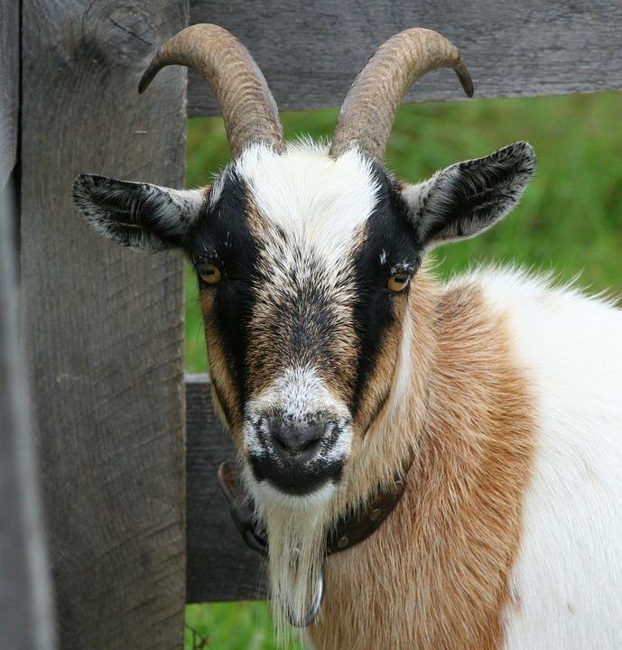 Wallpaper Hd Portrait Orientation Free Photo Goat Boer Bok Horns Domestic Free Image
