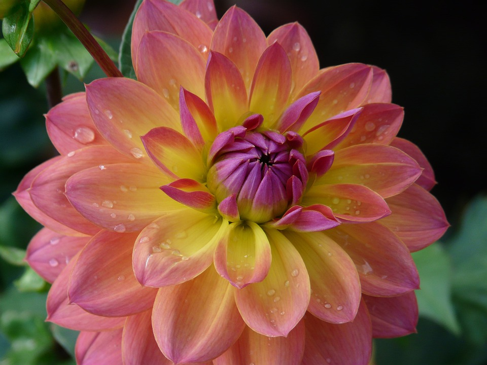 Hd Wallpapers Simple Girl Dahlia Garden Pink Yellow 183 Free Photo On Pixabay