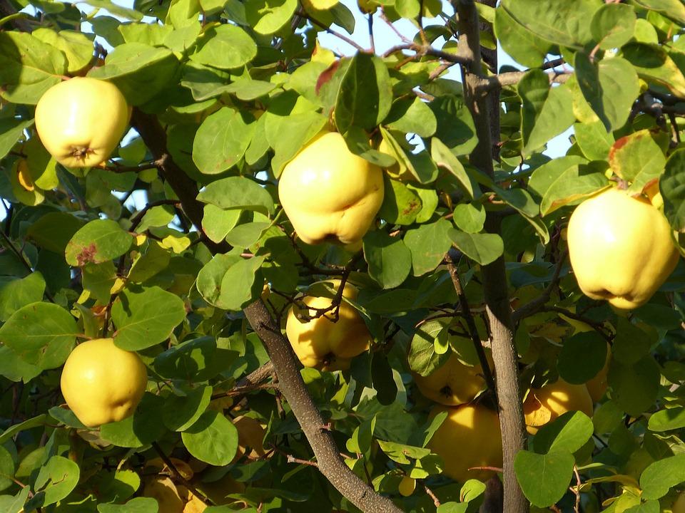 Vista Wallpaper Hd Foto Gratis Marmelo Frutas Planta Folha Imagem