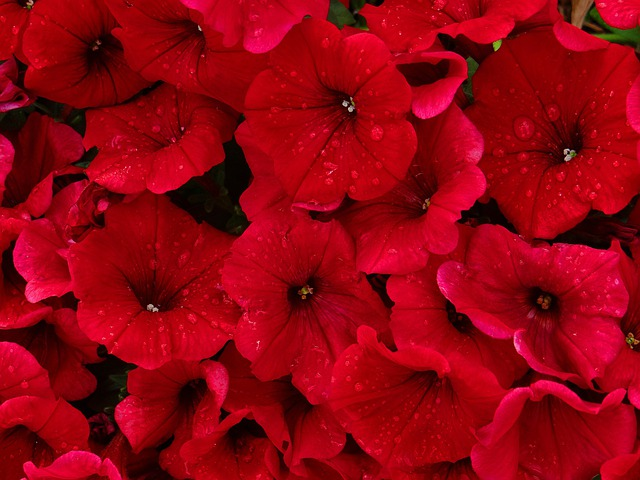 Girl In Flowers Wallpaper Red Petunias Rain 183 Free Photo On Pixabay