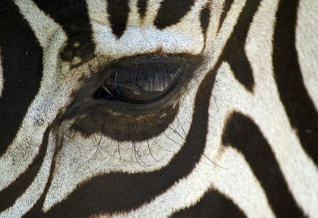 Nature Animal Wallpaper Hd Free Photo Zebra Macro Black And White Free Image On
