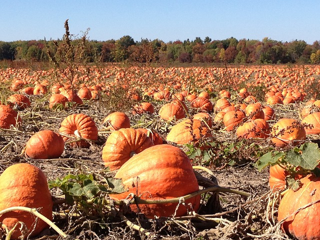Fall Harvest Iphone Wallpaper Free Photo Pumpkins Field Autumn Fall Free Image On