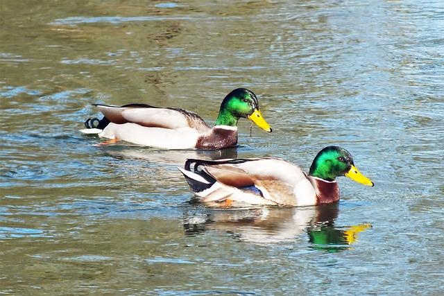 Animal House Wallpaper Ducks Wild Duck Water 183 Free Photo On Pixabay