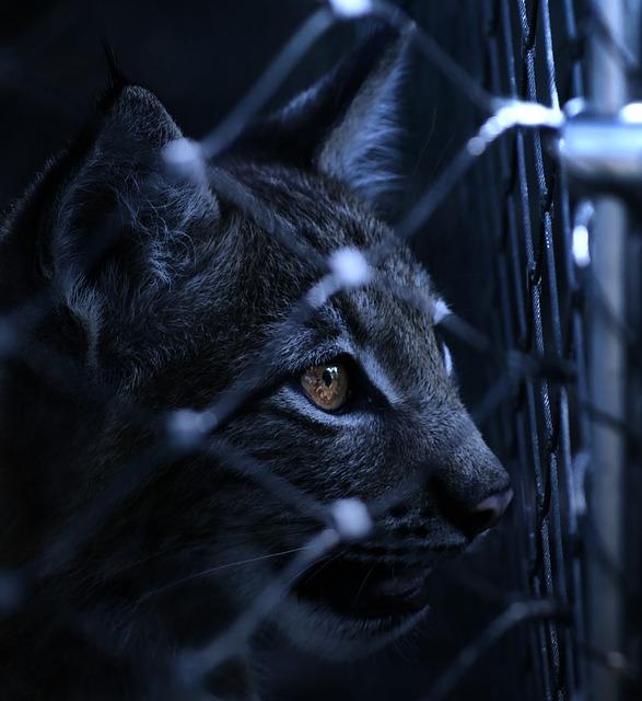 Beautiful Girl Eyes Wallpaper Lynx Caught Imprisoned 183 Free Photo On Pixabay