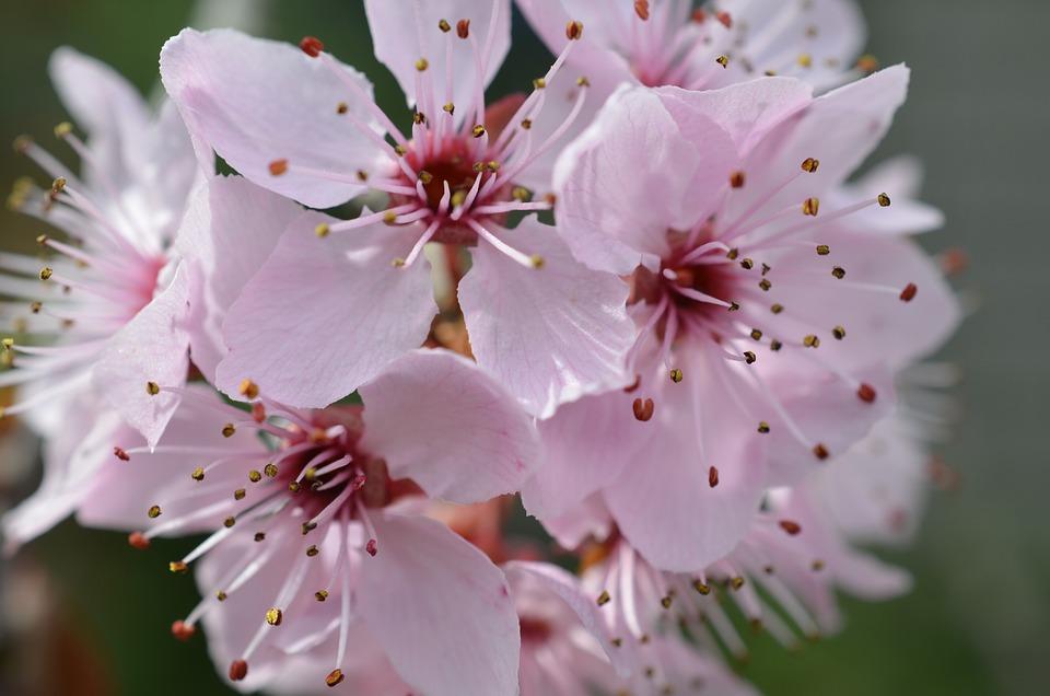Flor De Cerezo Japonés Los Cerezos - Foto gratis en Pixabay