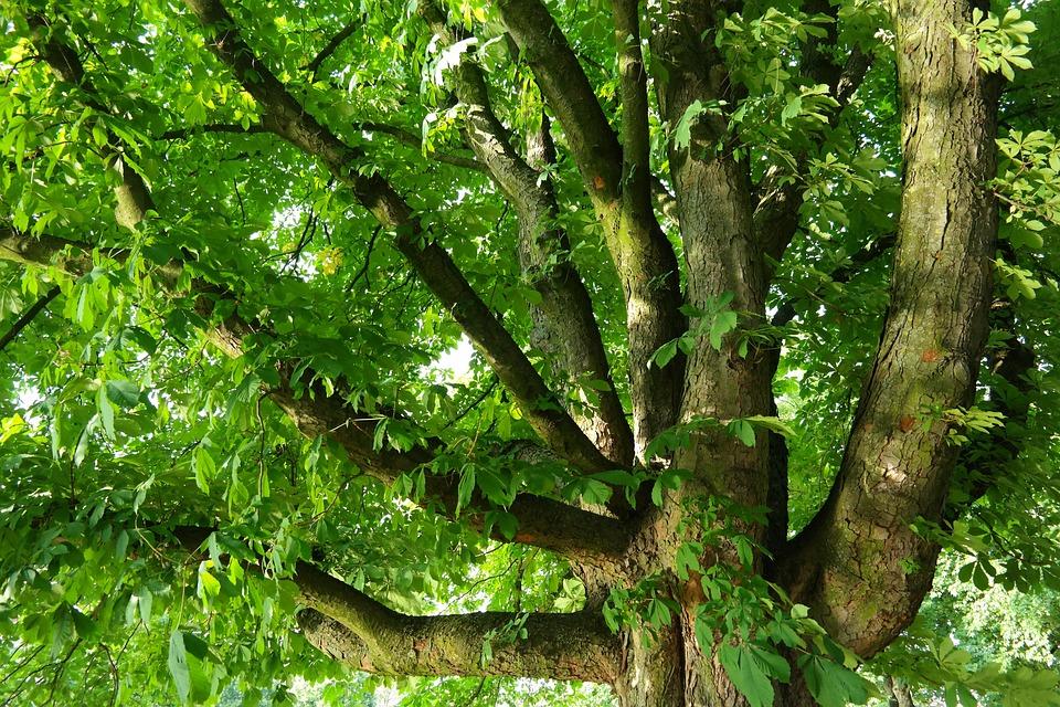 Fall Coffee Wallpaper Samsung 4 Free Photo Chestnut Buckeye Tree Branches Free Image
