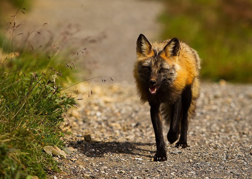 Wallpaper Hd Portrait Orientation Free Photo Red Fox Alaska Wildlife Animal Free Image