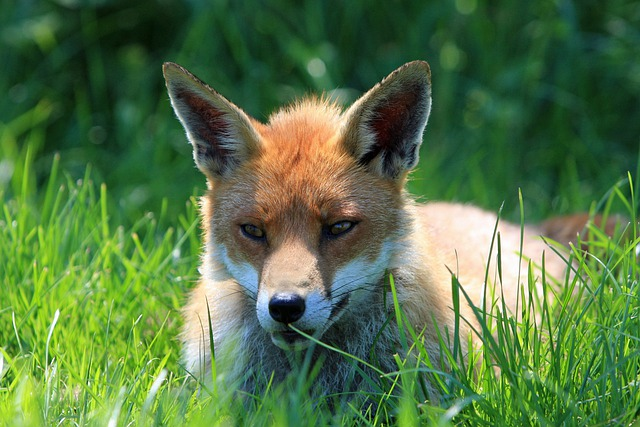Cute Baby Computer Wallpaper Free Photo Fox Red Fox Red Resting Face Free Image