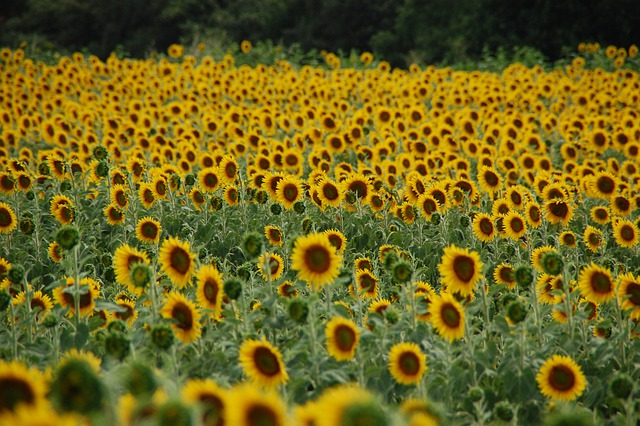 Fall Harvest Wallpaper Images Field Of Sunflowers Sunflower 183 Free Photo On Pixabay