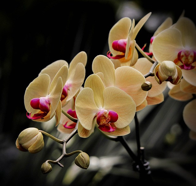 Rose Flower Garden Hd Wallpaper Free Photo Moth Orchid Phalaenopsis Flowers Free
