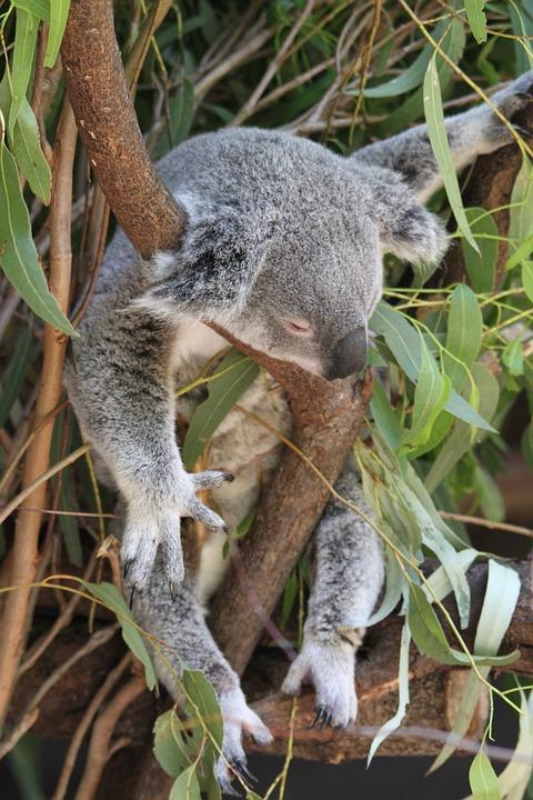 Black And White Flower Wallpaper Free Photo Koala Phascolarctos Cinereus Free Image On