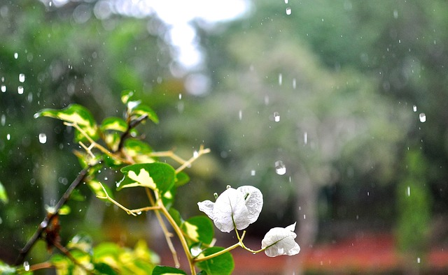 Snow Falling Wallpapers Free Download Bougainvillea White Flowers 183 Free Photo On Pixabay