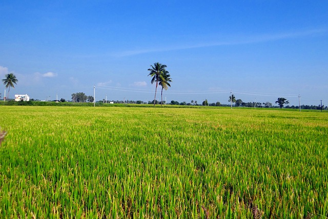 3d Wallpaper Lavender Rice Fields Gangavati Karnataka 183 Free Photo On Pixabay