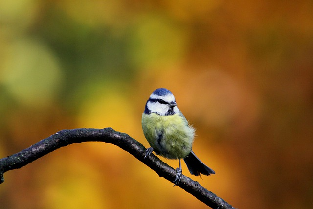 Hd Autumn Desktop Wallpaper Blue Tit Bird Colors 183 Free Photo On Pixabay