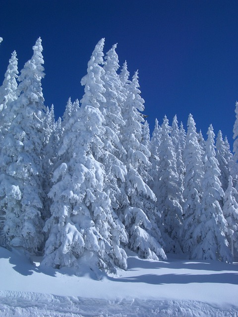 Animation Wallpaper Hd Free Download Free Photo Winter Firs Snowy Snow Wintry Free Image