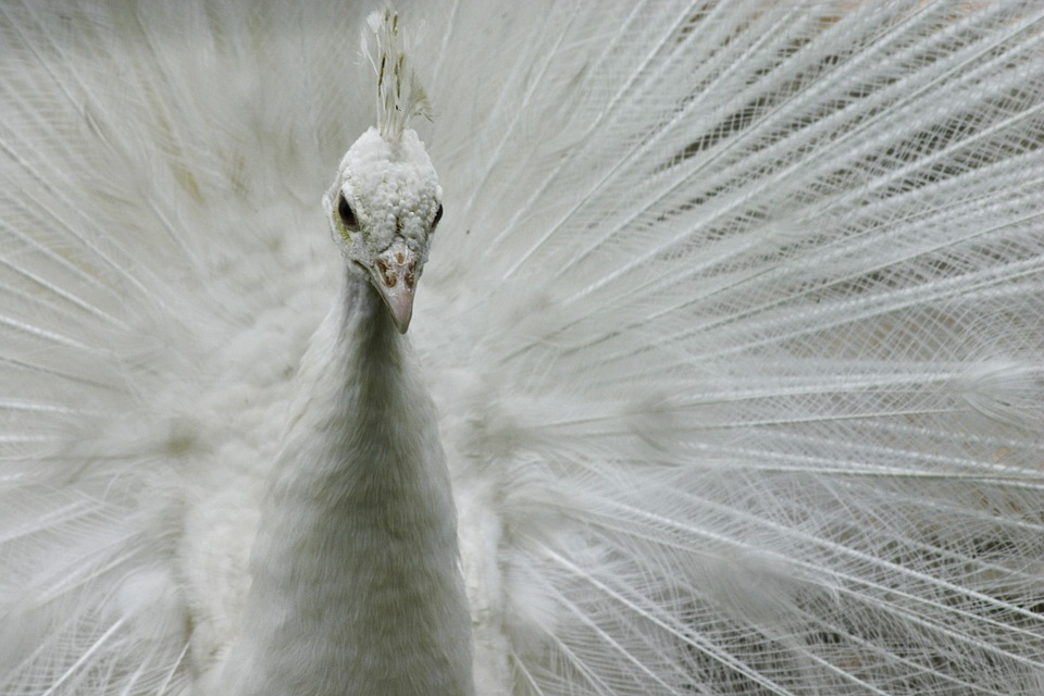 Most Beautiful Wallpapers Of Animals Free Photo White Peacock Animal Bird Free Image On