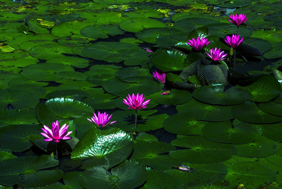 Buddha Hd Wallpaper 1080p Photo Gratuite Fleur De Lotus Water Lily Plantes