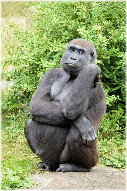 Lion Animal Wallpaper Gorilla Zoo Series 183 Free Photo On Pixabay