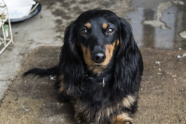 Mix Wallpaper Full Hd Free Photo Dog Dachshund Pet Animal Puppy Free
