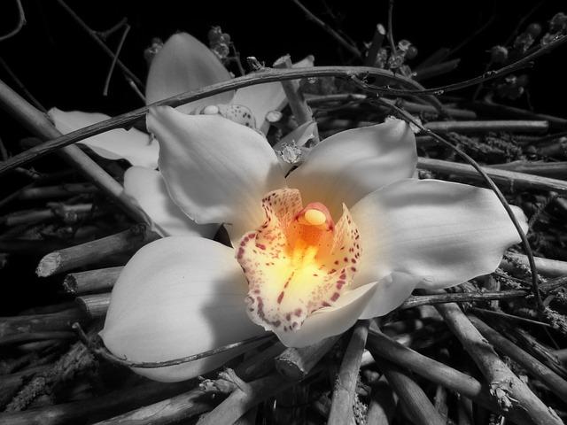 Black And White Flower Wallpaper Foto Gratis Orchidea Fiore In Bianco E Nero Immagine