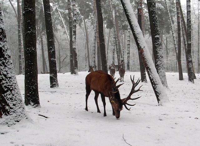 Late Fall Wallpaper Nature Free Photo Red Deer Antler Winter Graze Free Image