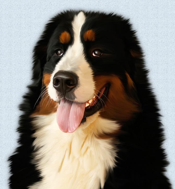 Black Wolf Wallpaper Dog Husky Bernese Mountain 183 Free Photo On Pixabay