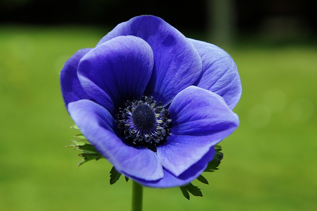Black Rose Wallpaper 3d Free Photo Anemone Blue Flower Petals Free Image On