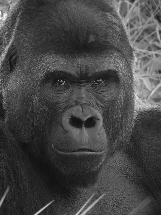 Wallpaper Hd Portrait Orientation Photo Gratuite Gorille Primate Singe Zoo Image