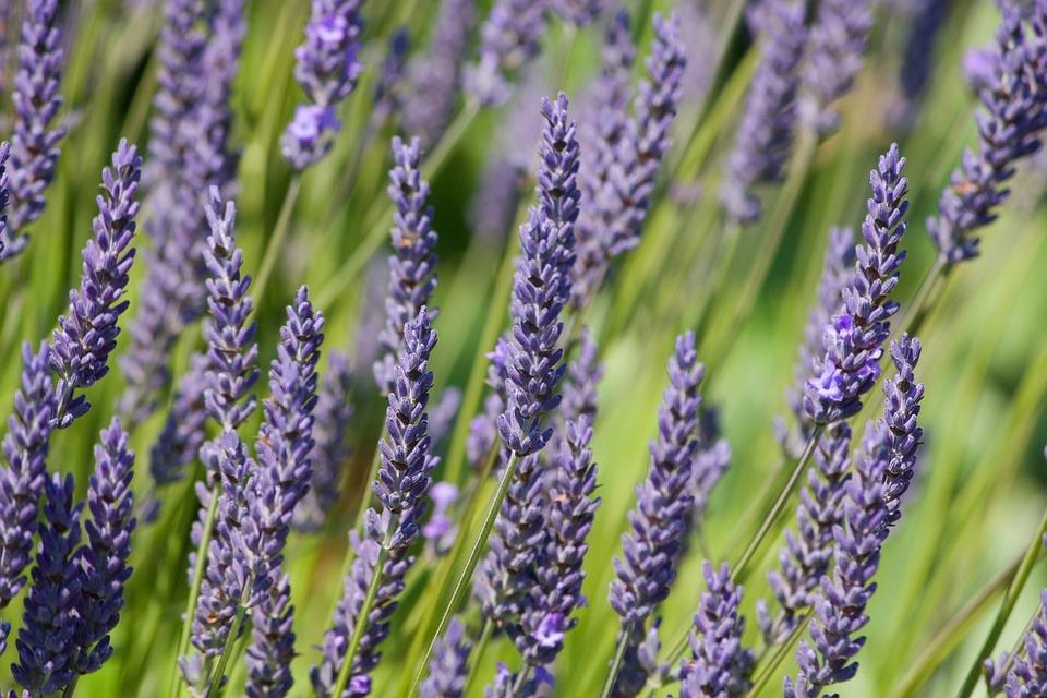 Girl Hd Desktop Wallpaper Lavender Flowers Background 183 Free Photo On Pixabay
