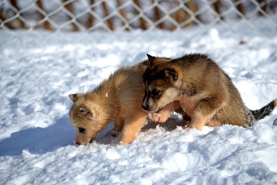 Cute Puppy Pics Wallpaper Siberian Husky Welpen Hund 183 Kostenloses Foto Auf Pixabay