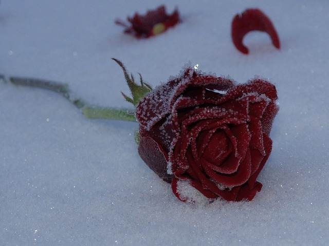 Hd Fall Wallpaper Free Free Photo Rose Flower Red Snow Frozen Free Image