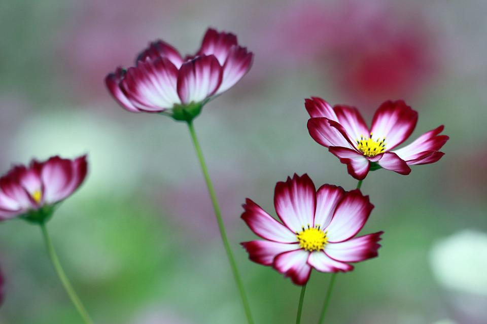 Pink Full Hd Wallpaper Free Photo Cosmos The Universe Flowers Neat Free