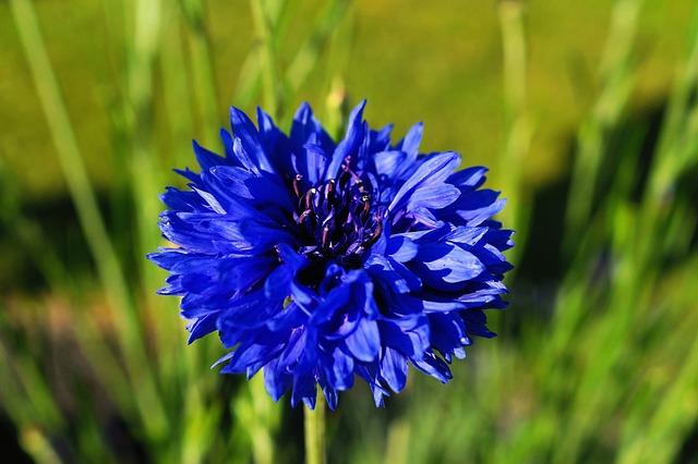 Wallpaper Images Hd Flowers Foto Gratis Fiordaliso Fiore Blu Immagine Gratis Su