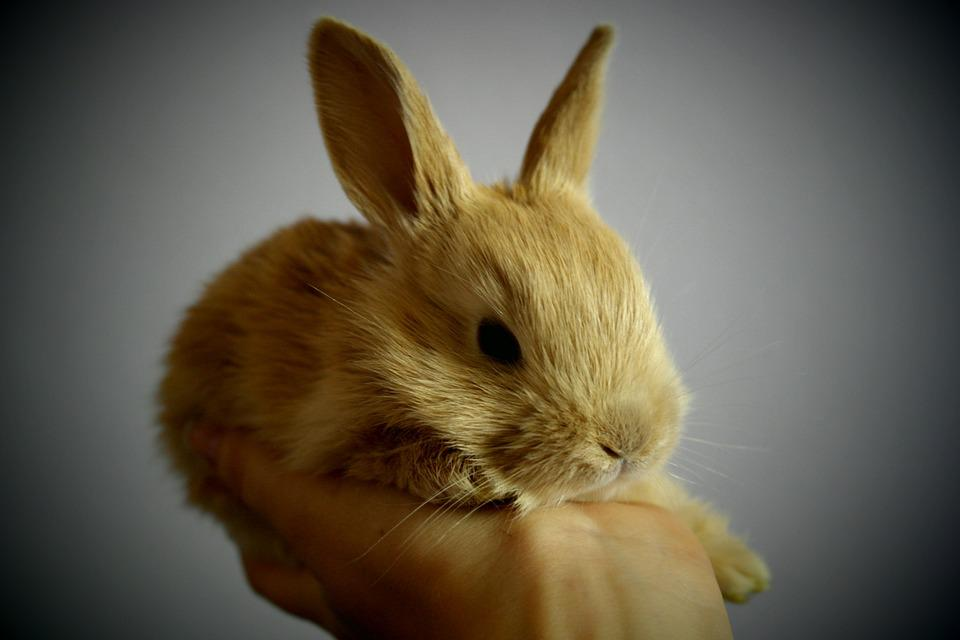 Cute White Baby Rabbits Wallpapers Free Photo Rabbit Small Light Brown Free Image On